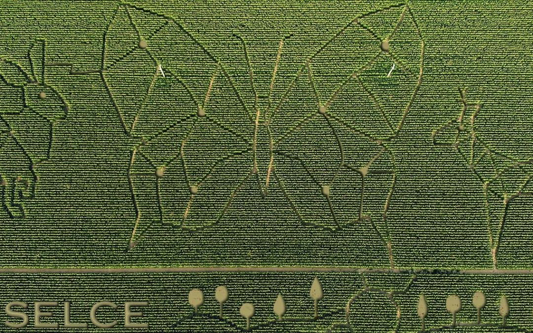 I disegni nel campo di mais
